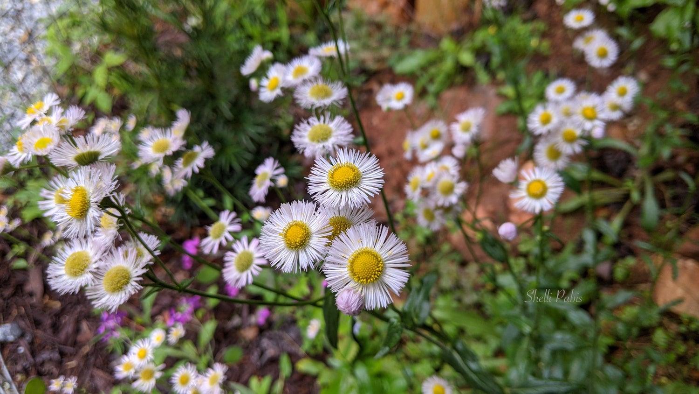 flowers - fleabane